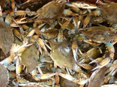 Boiled Louisiana Crabs